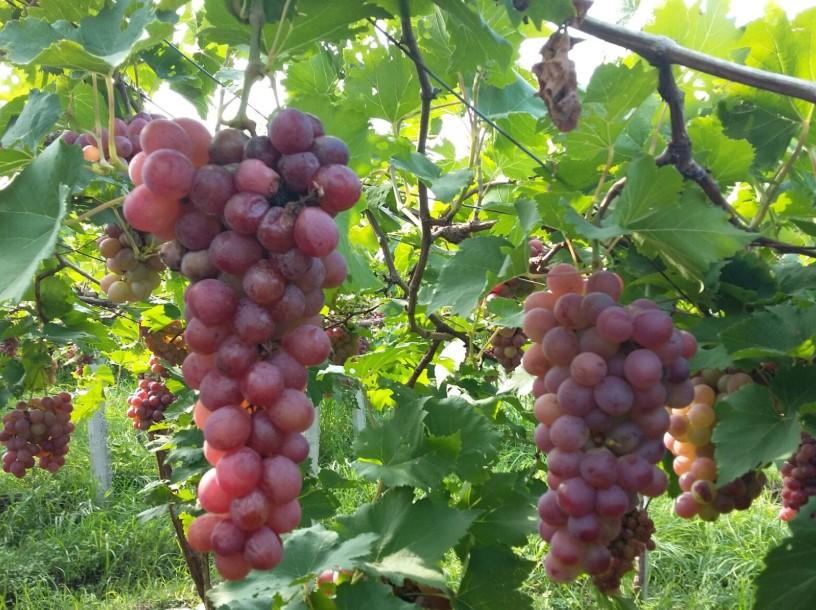 Anggur Prabu Bestari